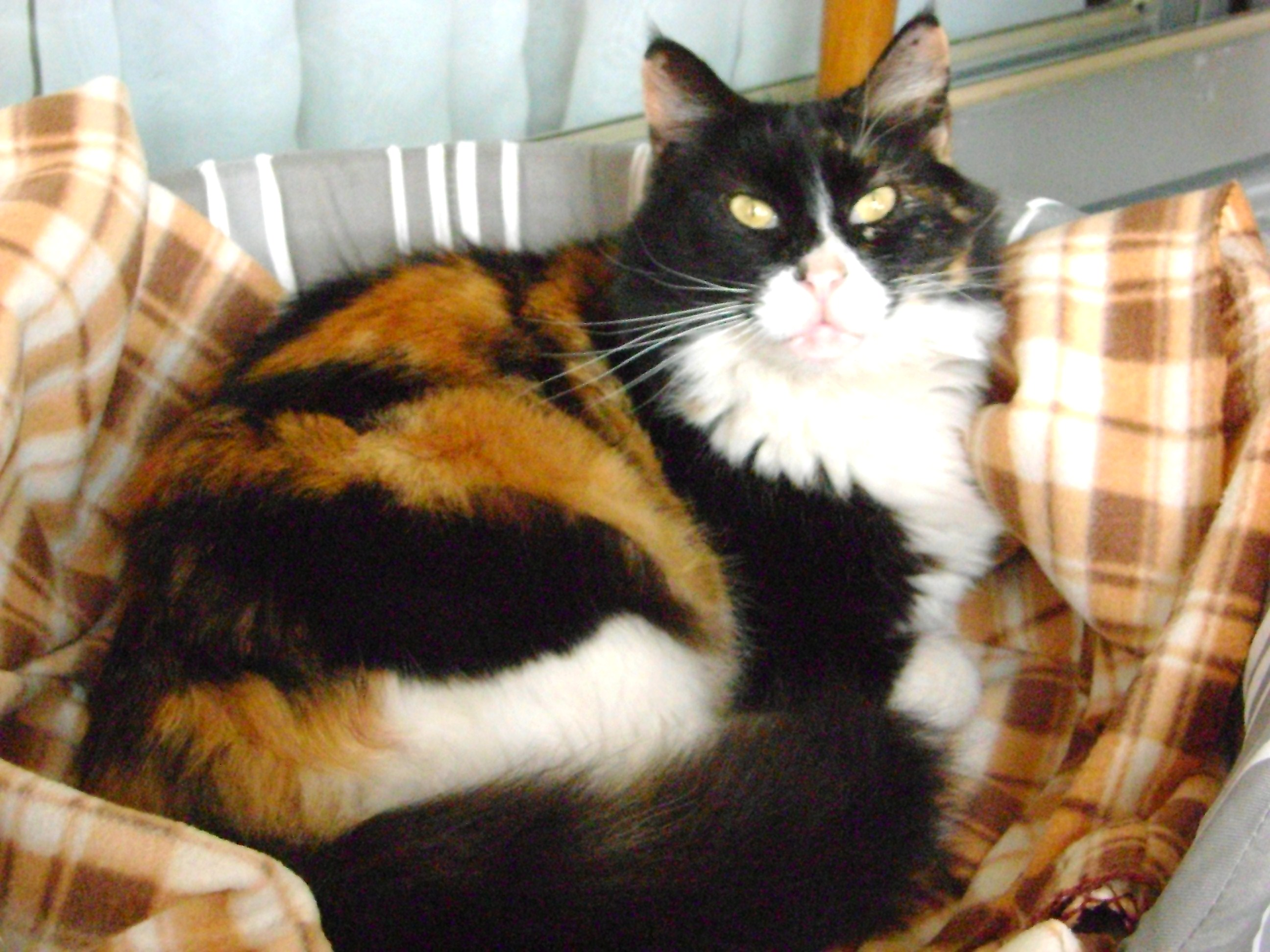 Cat Breed Associated With Upper Respratory Disease