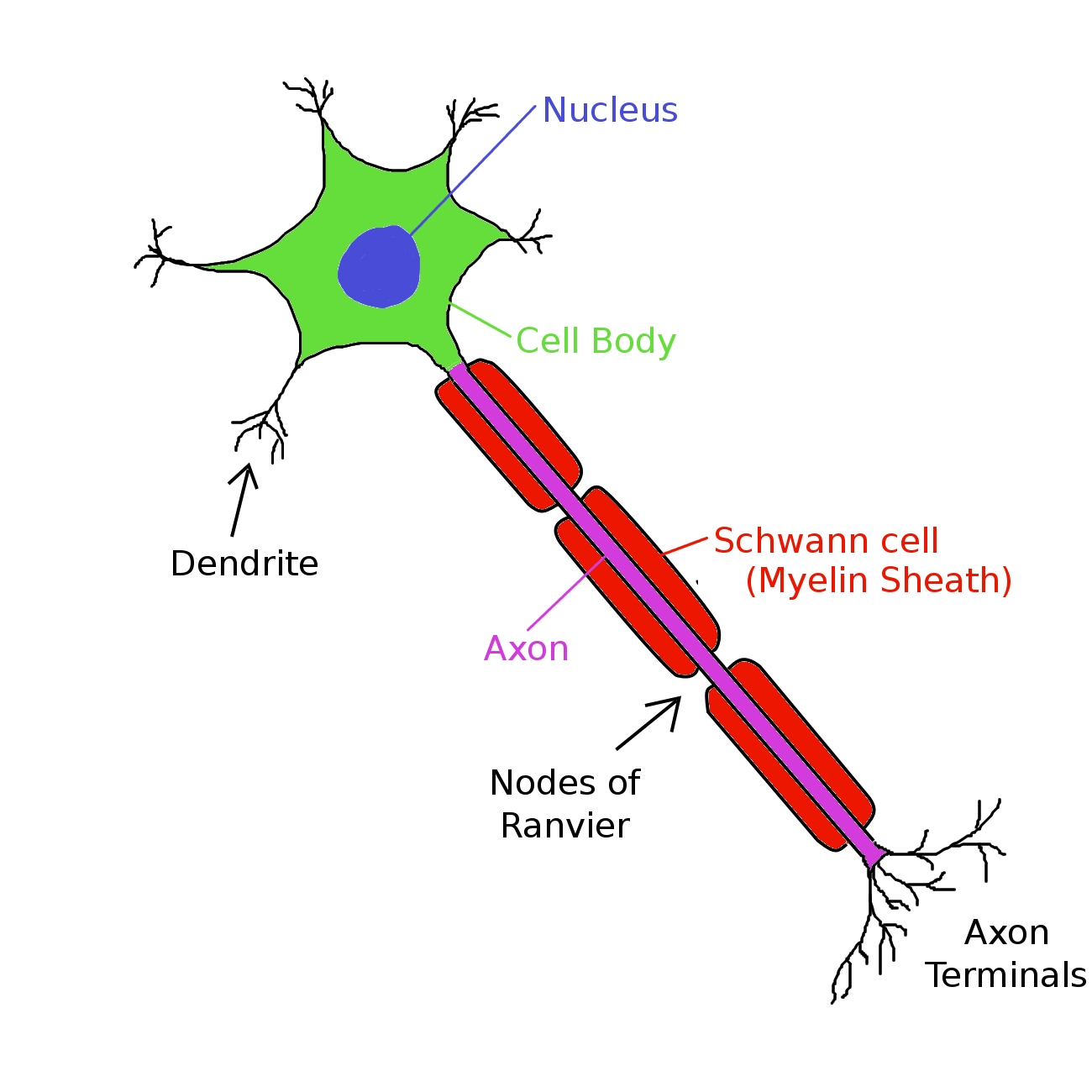 File Neuron1 jpgResting Potential Of A Neuron