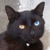oddeyed cat wikipedia