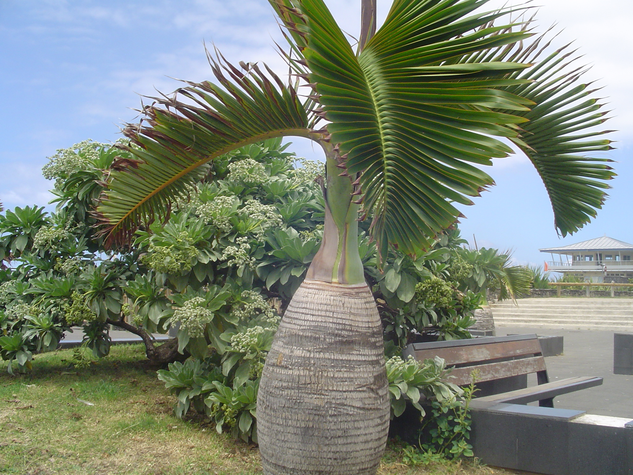 File palmier bouteille 2856175858 jpg wikimedia commons for Plante grasse exterieur