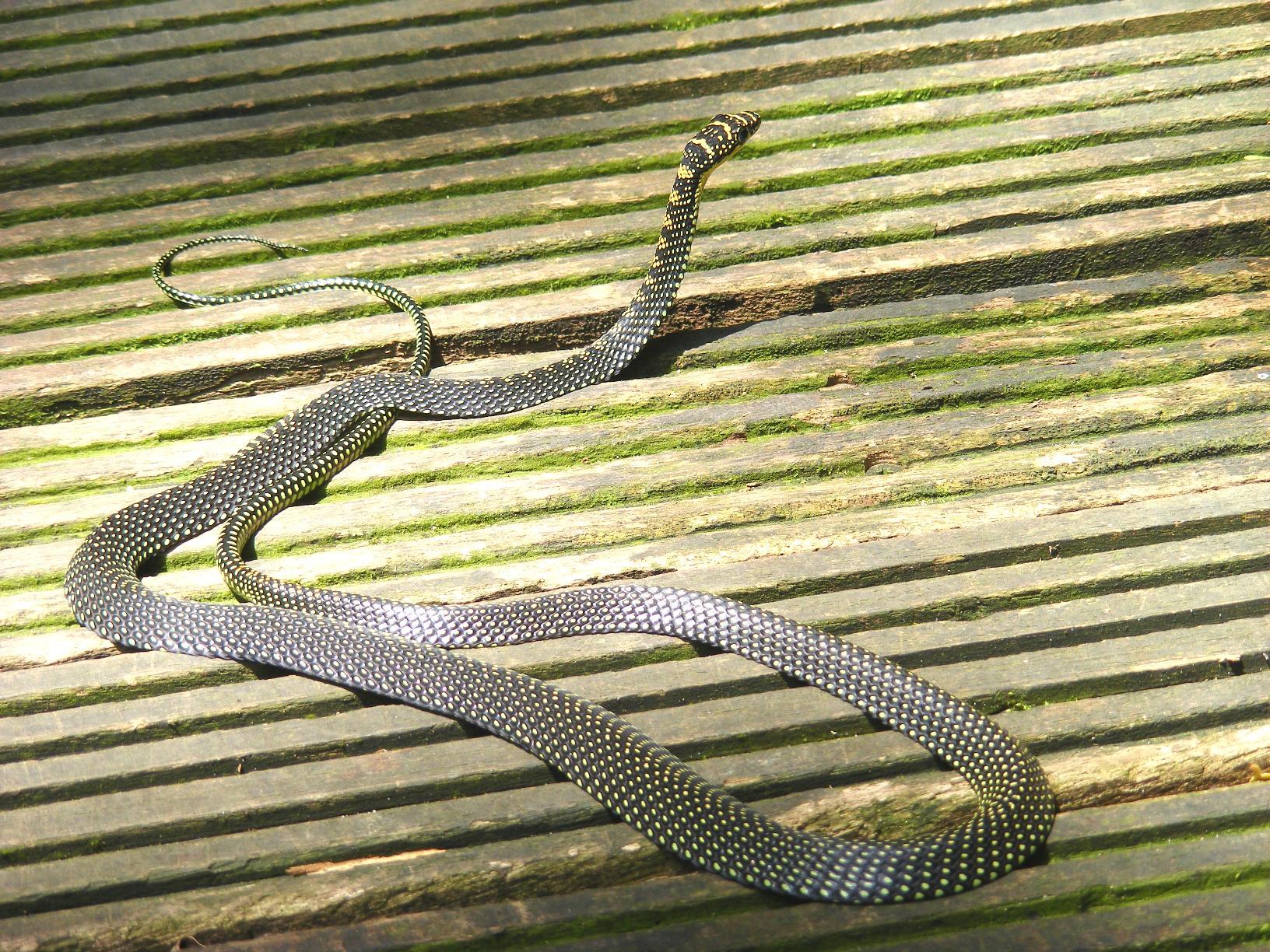 File Paradise Tree Snake Chrysopelea Paradisi At Singapore Dscf6896