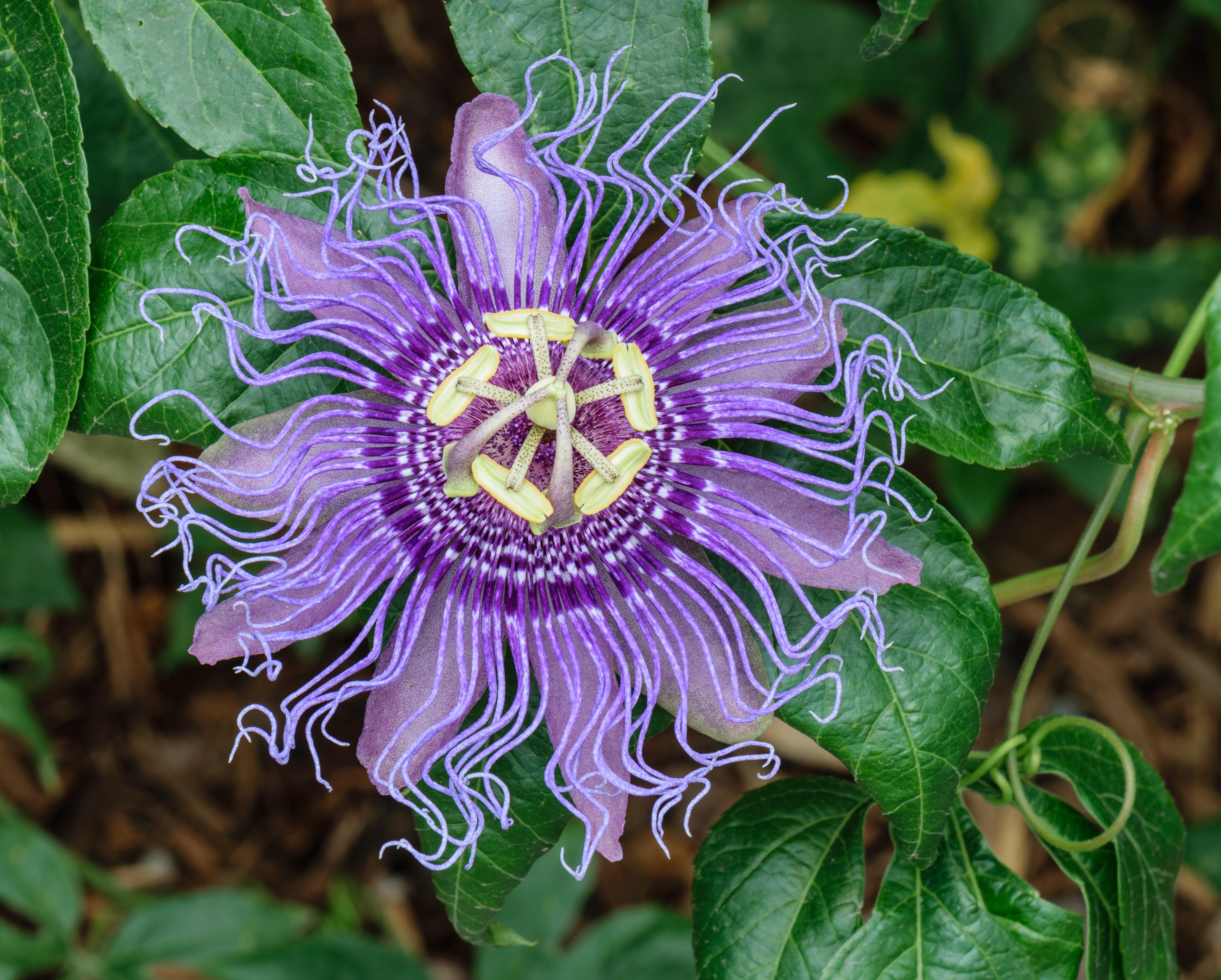 Passiflora Wikipedia