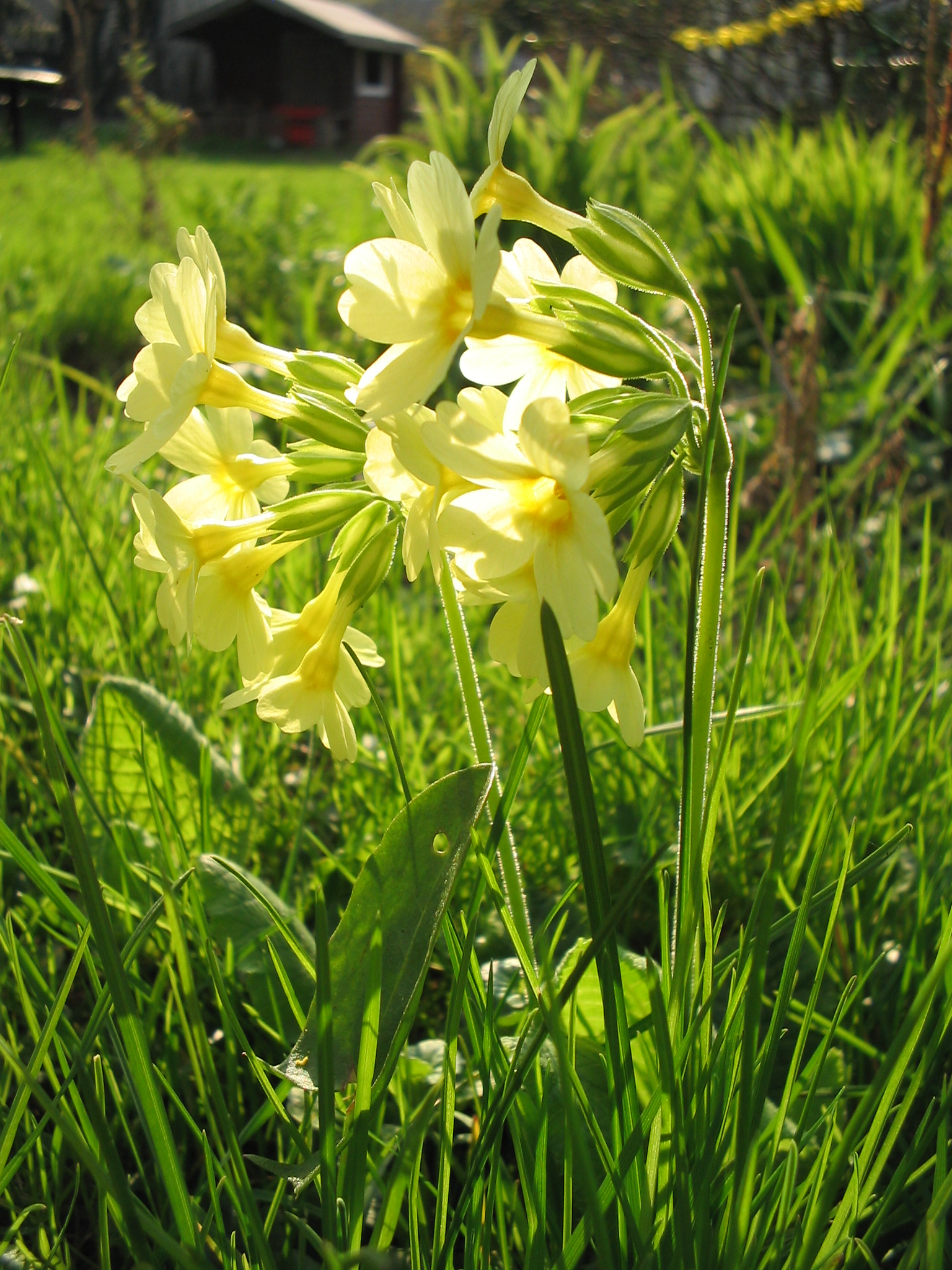 Garden flowers names - This Pretty Yellow Flower Gathered Since The Middle Ages When Bringing In The May Was Known In Middle English By Various Names Including Primerose