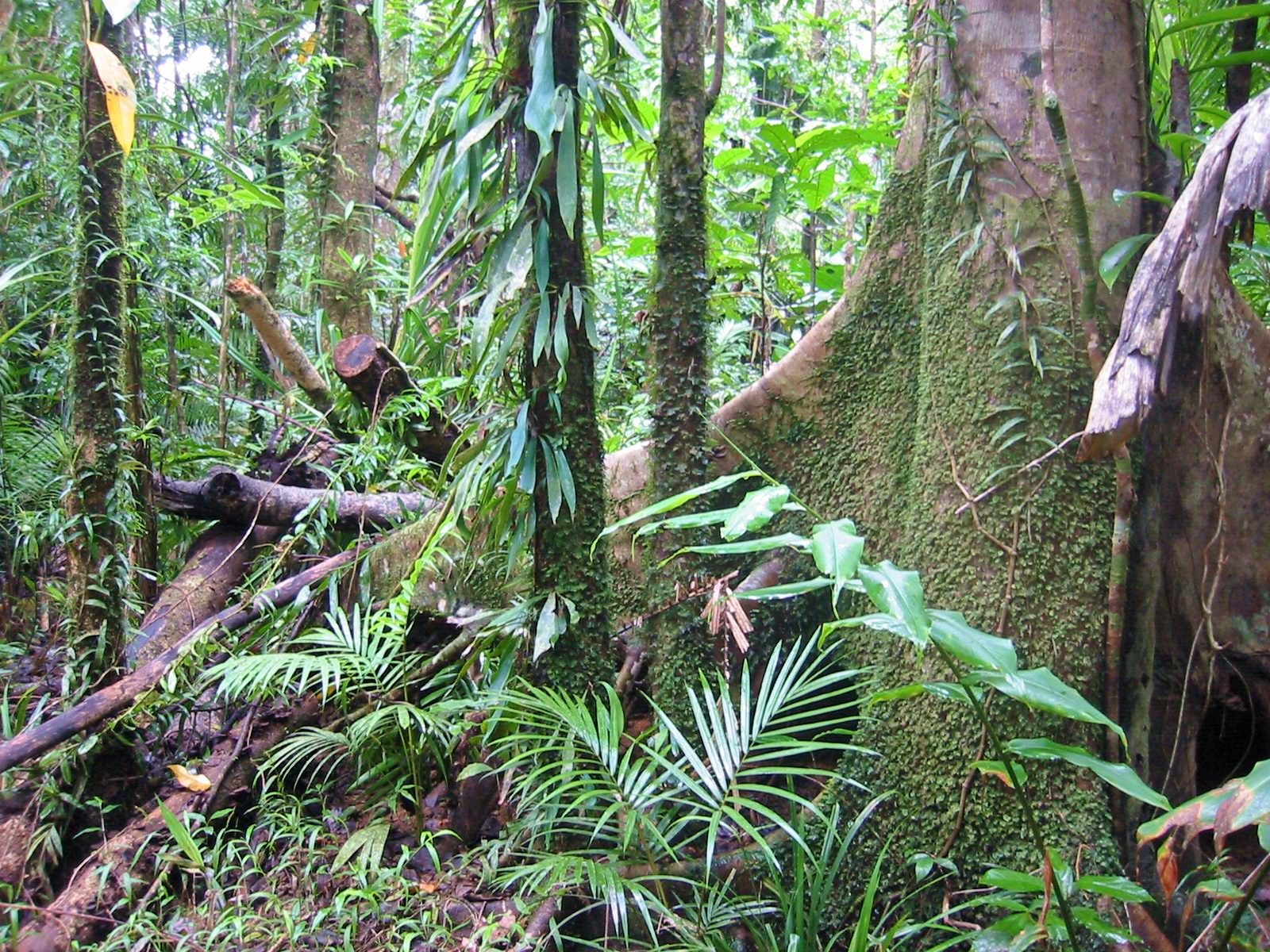 Description rain forest daintree australia