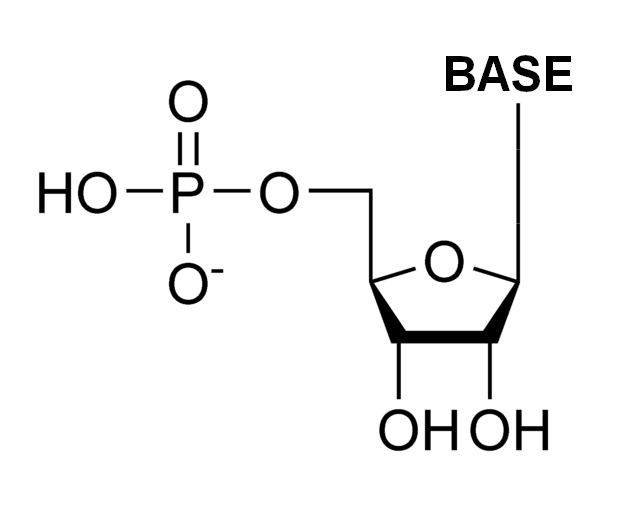 diagram of ribose deoxy ribonucleotide wikipedia  ribonucleotide wikipedia