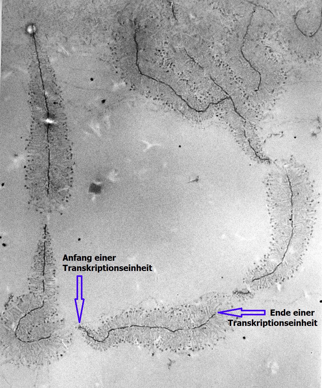 Desoxyribonukleinsäure – Wikipedia