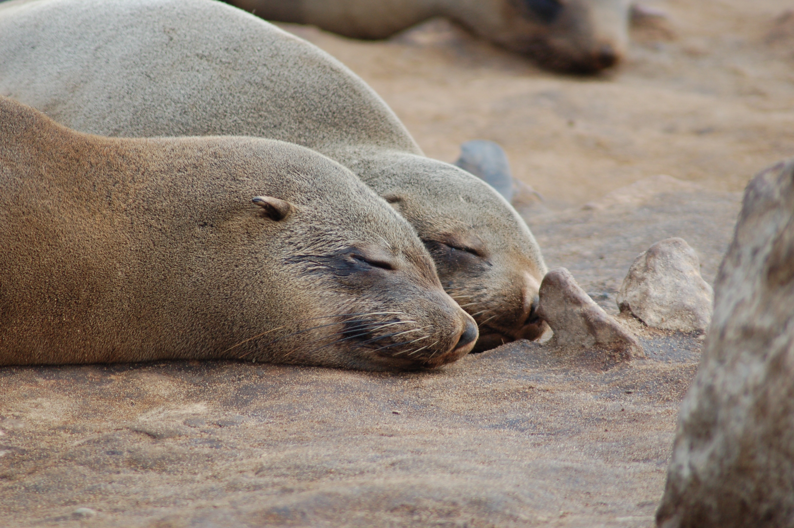 file seals at cape cross namibia 3046576998 jpg wikimedia commons. Black Bedroom Furniture Sets. Home Design Ideas