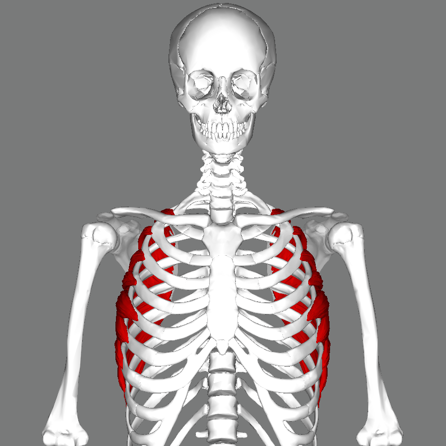 How To Build Serratus Muscles