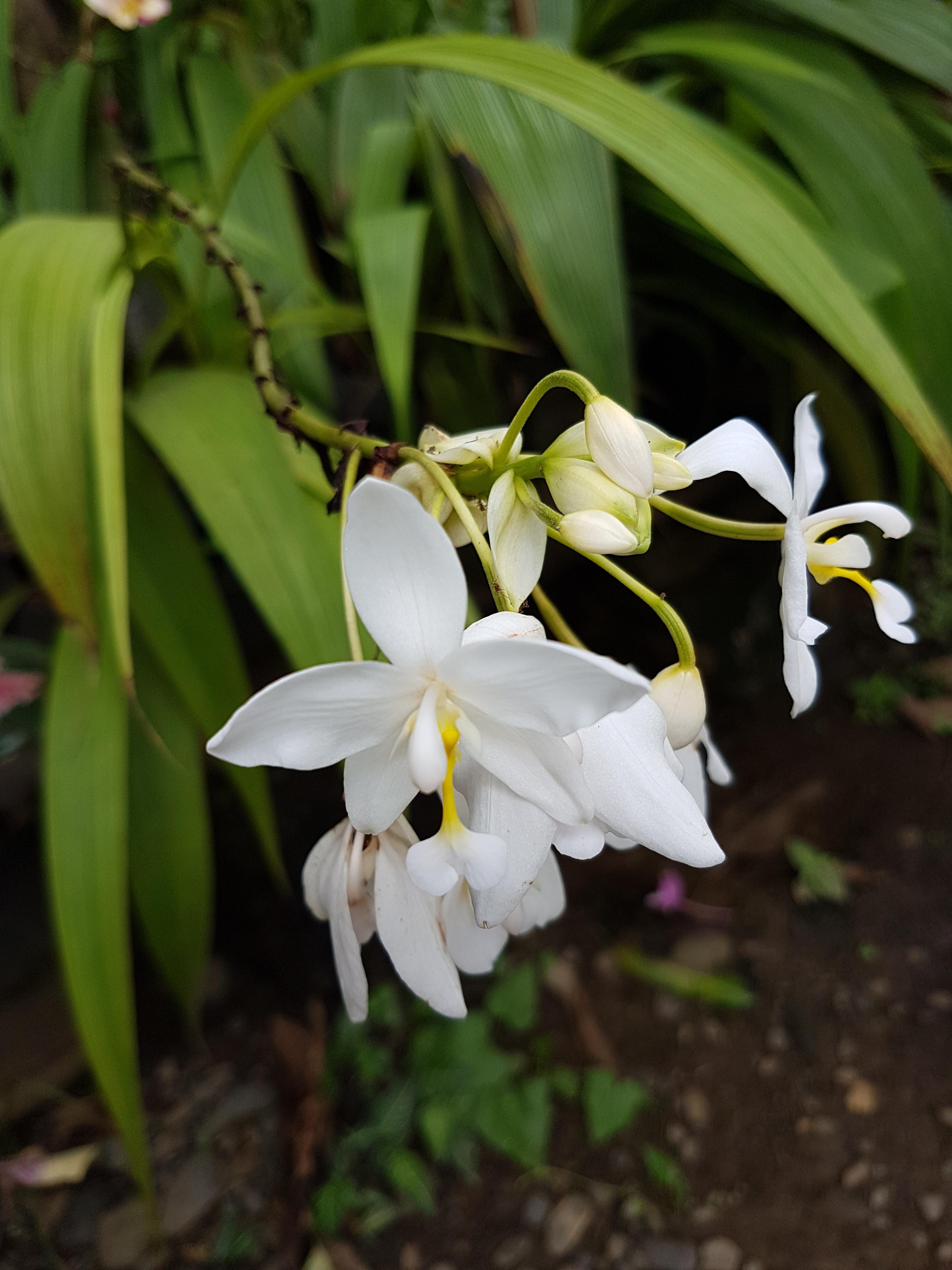 Spathoglottis plicata wikipedia spathoglottis plicata philippine ground orchid white cultivarg mightylinksfo