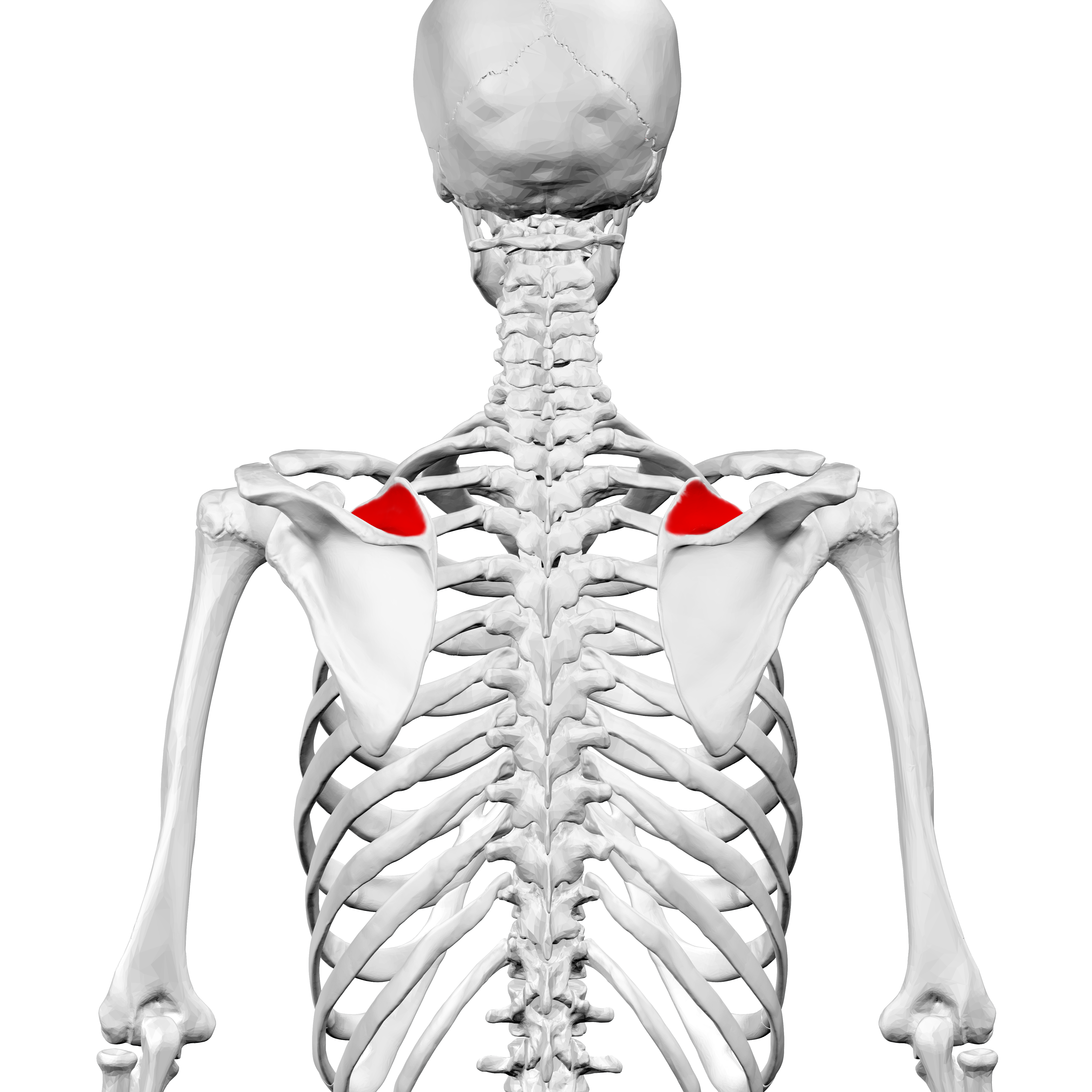 File:Supraspinous fossa of scapula04.png