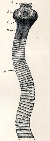 life cycle of taenia saginata pdf