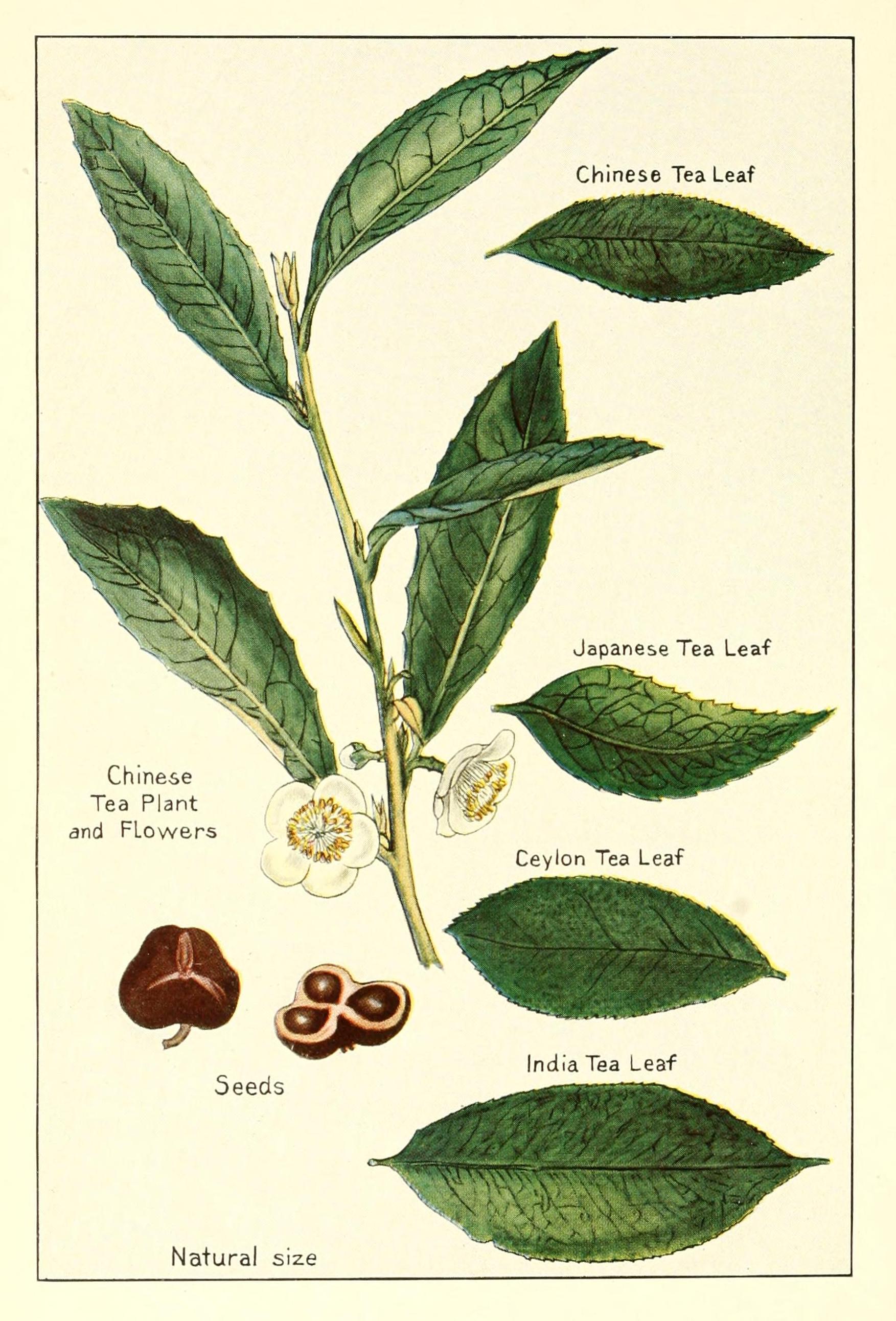 Description tea plant chinese india japanes ceylon flowers seeds