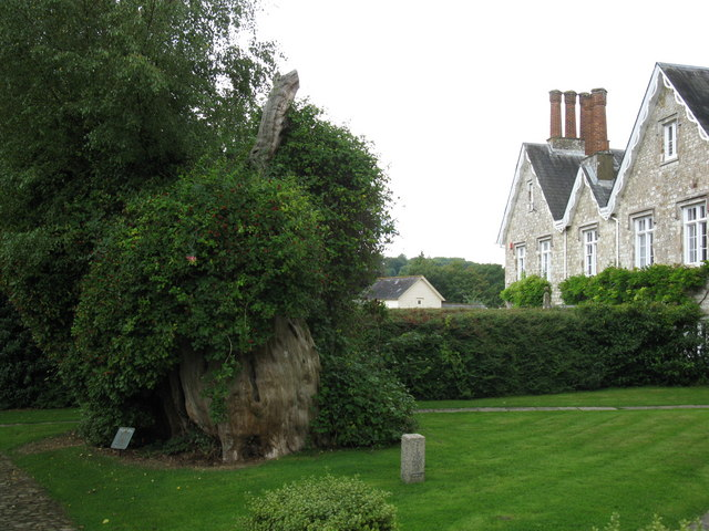 The Selborne Yew - geograph.org.uk - 1436404