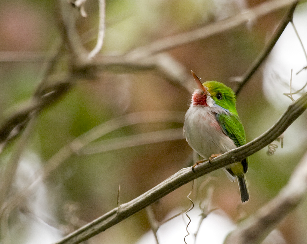 List Of Birds Of North America (Coraciiformes)