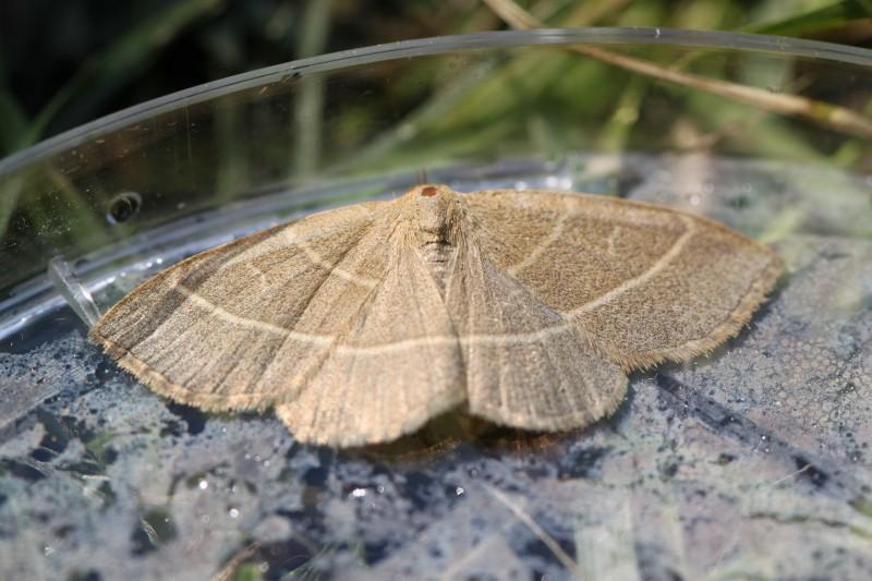 Trisateles emortualis (Erebidae) (Olive Crescent) - (imago), Saint-Maurice-sous-les-Côtes, France