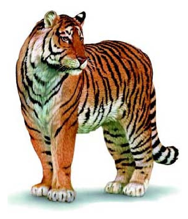 Usda Aphis Tiger Illustration The Cats Wikipedia