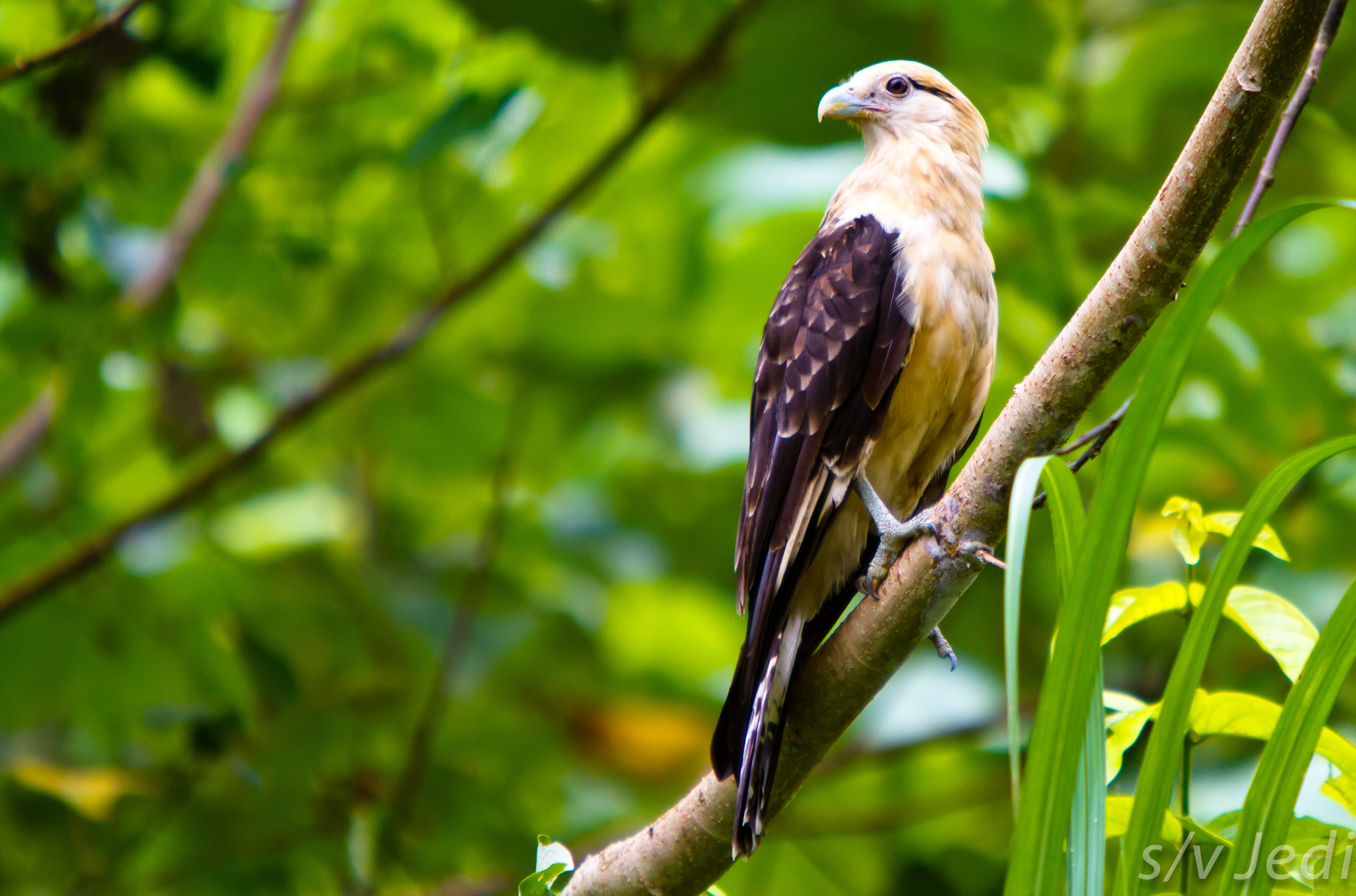 File Yellow Headed Caracara Jpg Wikimedia Commons