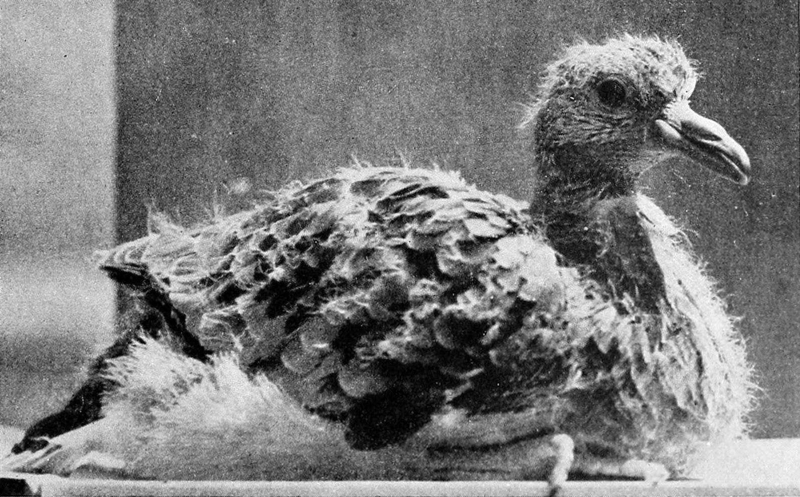 Live nestling or squab