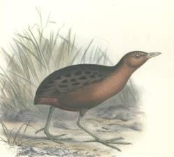 Гавайський пастушок (Porzana sandwichensis), зниклий вид птахів. Ілюстрація британського зоолога на ім'я Frederick William Frohawk, котрий помер 10 грудня 1946 року.