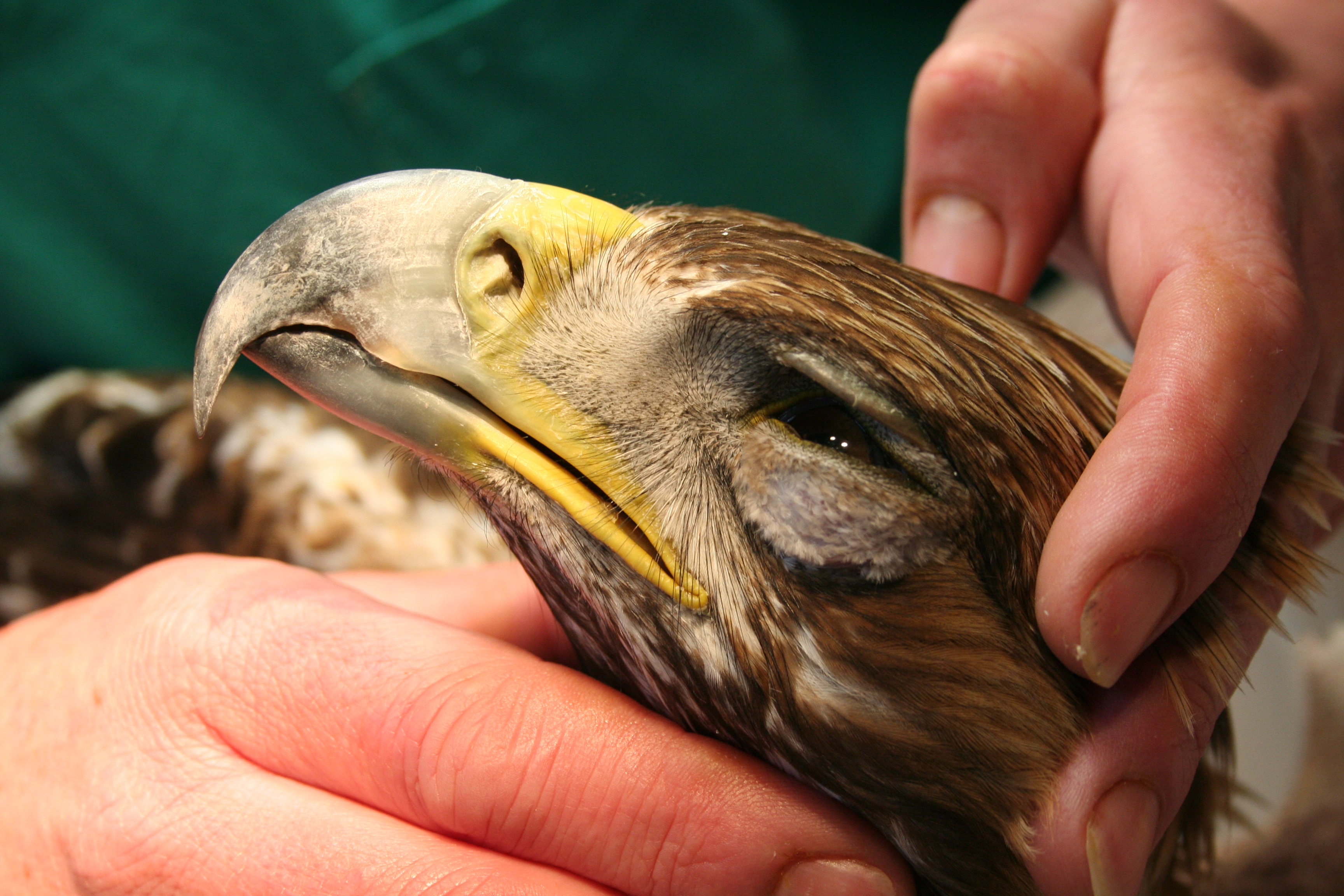Archivo:Águila Real(Aquila crhysaetos).JPG - Wikipedia, la ...