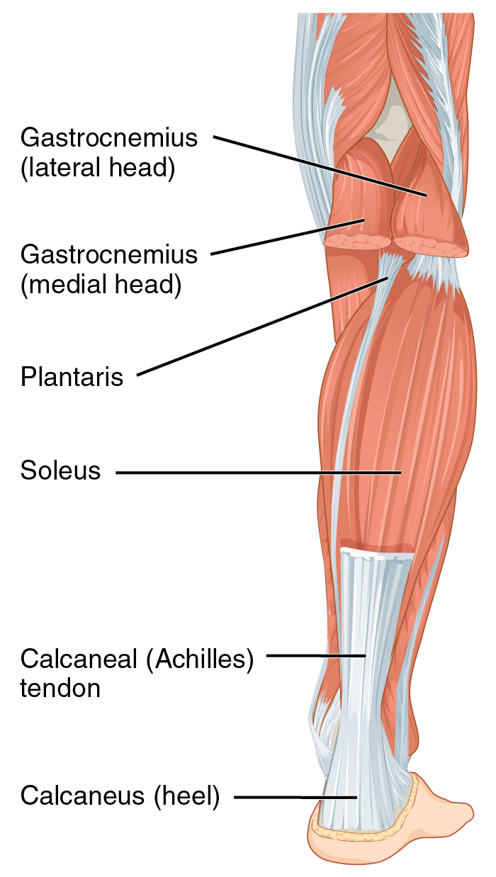 Achilles tendon - Wikiwand