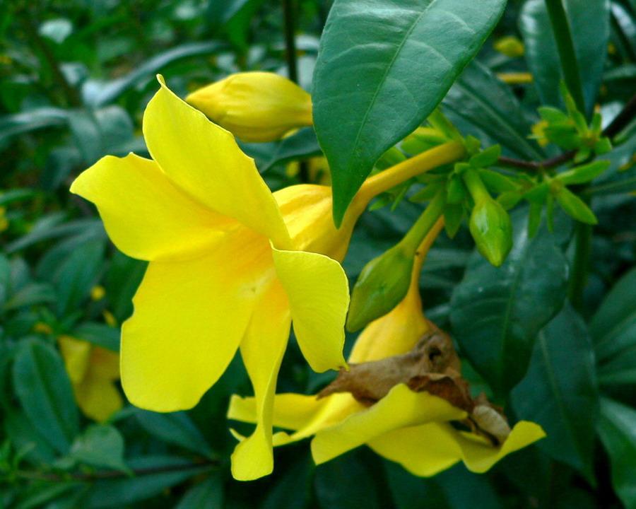 Allamanda cathartica wikip dia - Plante a fleur jaune 6 lettres ...