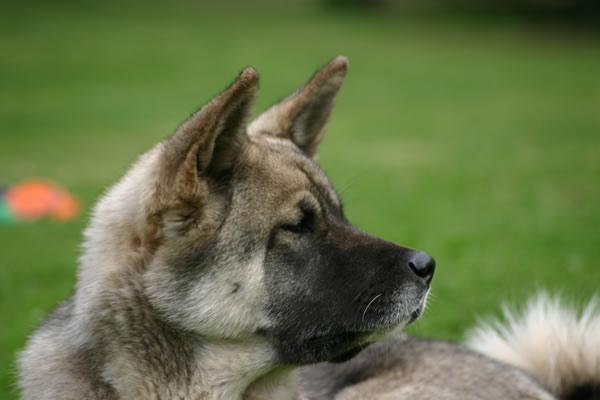 El perro Akita Americano es un perro protector de su familia