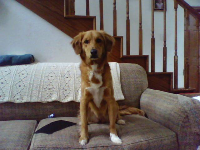 File Beagle Shepard Mixed Breed Dog Sitting Png