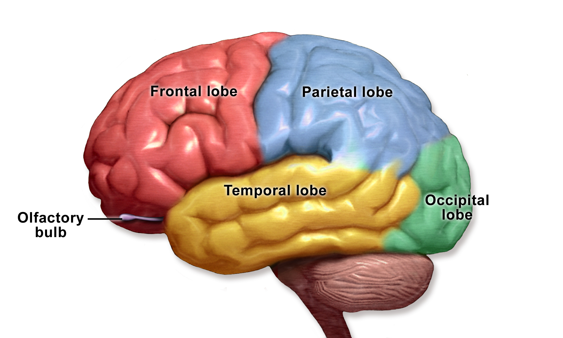 lobes of the brain English: a lobe of the brain is a division of the brain, specifically of the telencephalon.