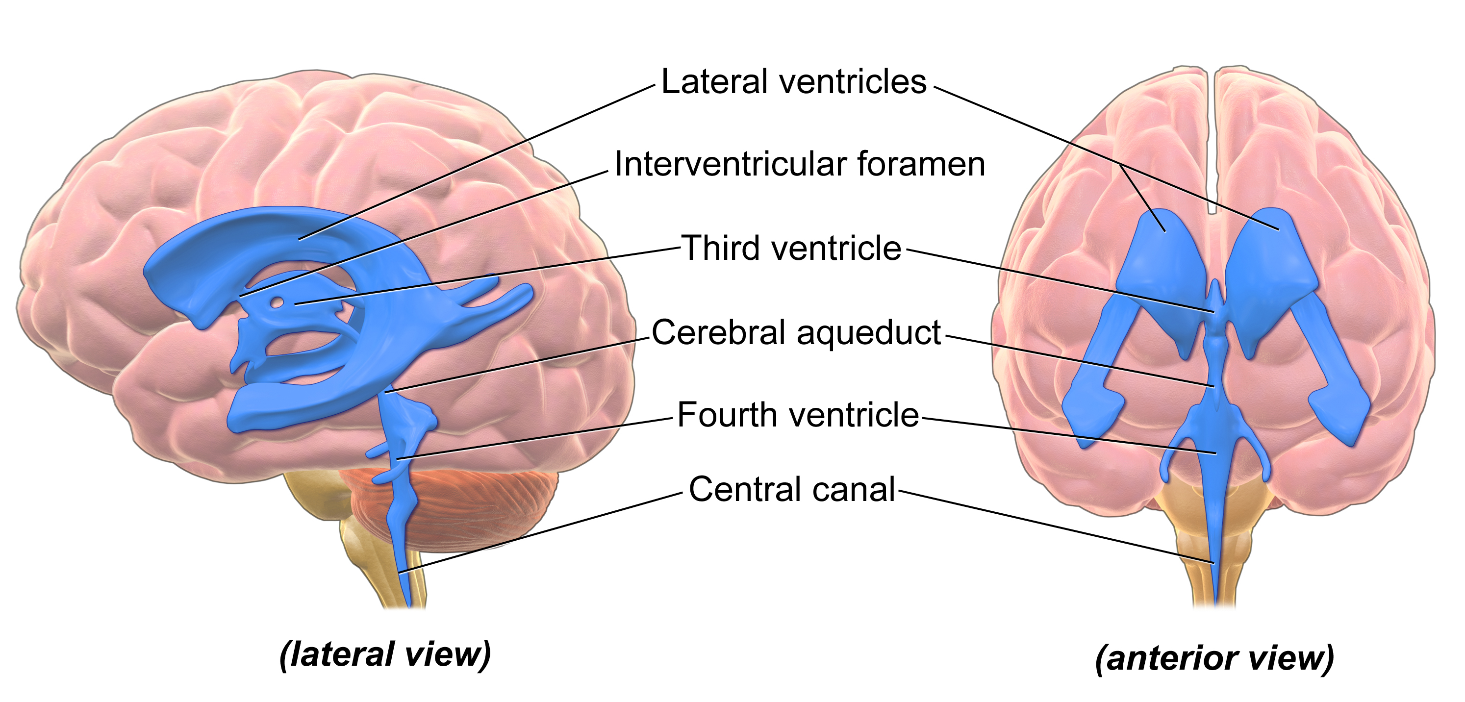 https://upload.wikimedia.org/wikipedia/commons/d/d4/Blausen_0896_Ventricles_Brain.png