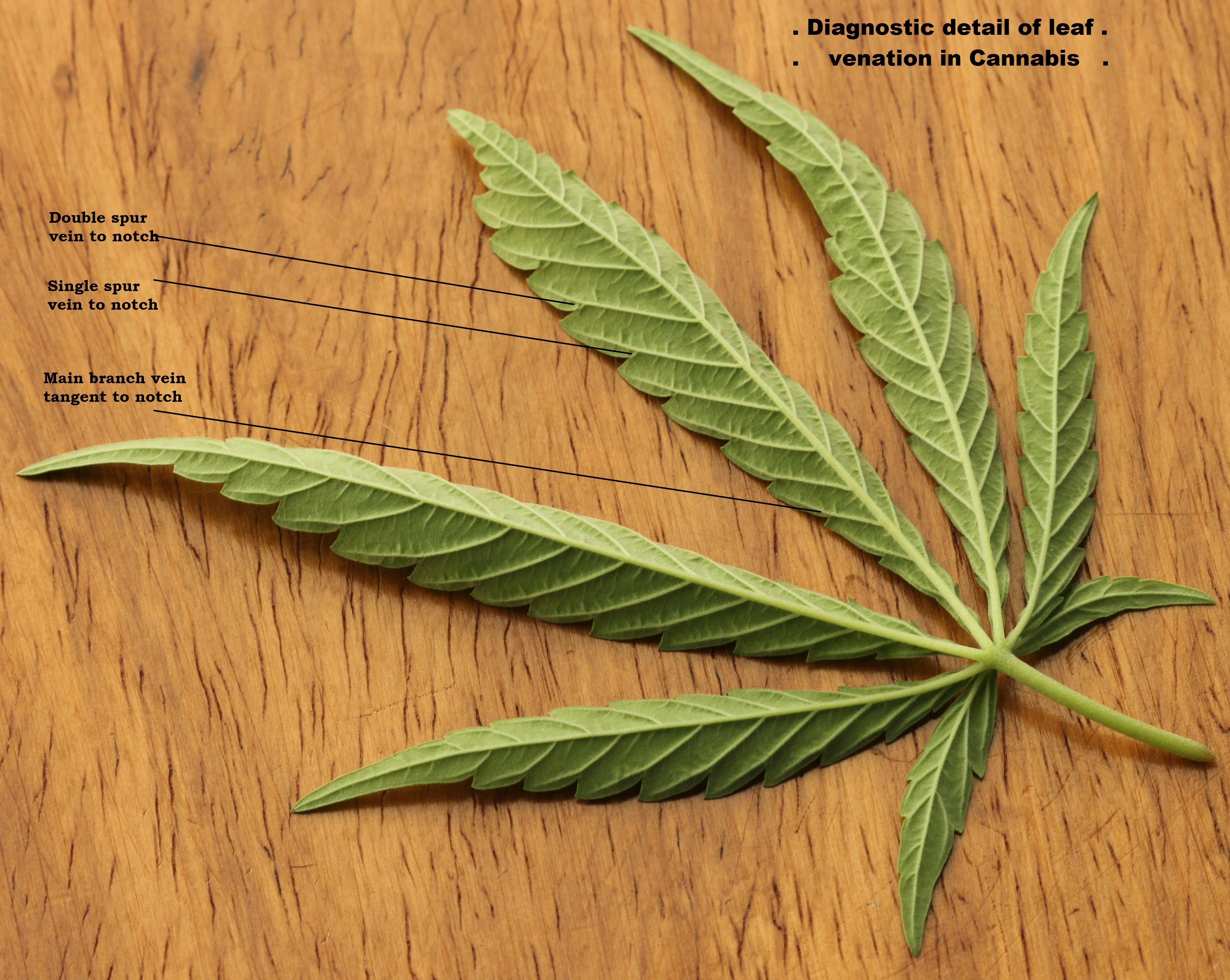Underside of Cannabis sativa leaf, showing diagnostic venation