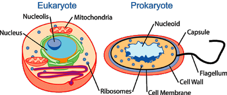 Human Physiology/Cell physiology - Wikibooks, open books ...
