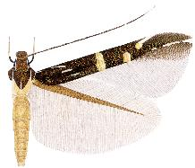 <i>Cosmopterix lummyae</i> species of insect