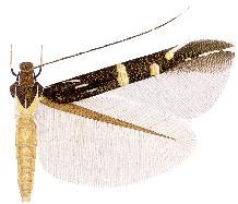 Cosmopterix lummyae.JPG