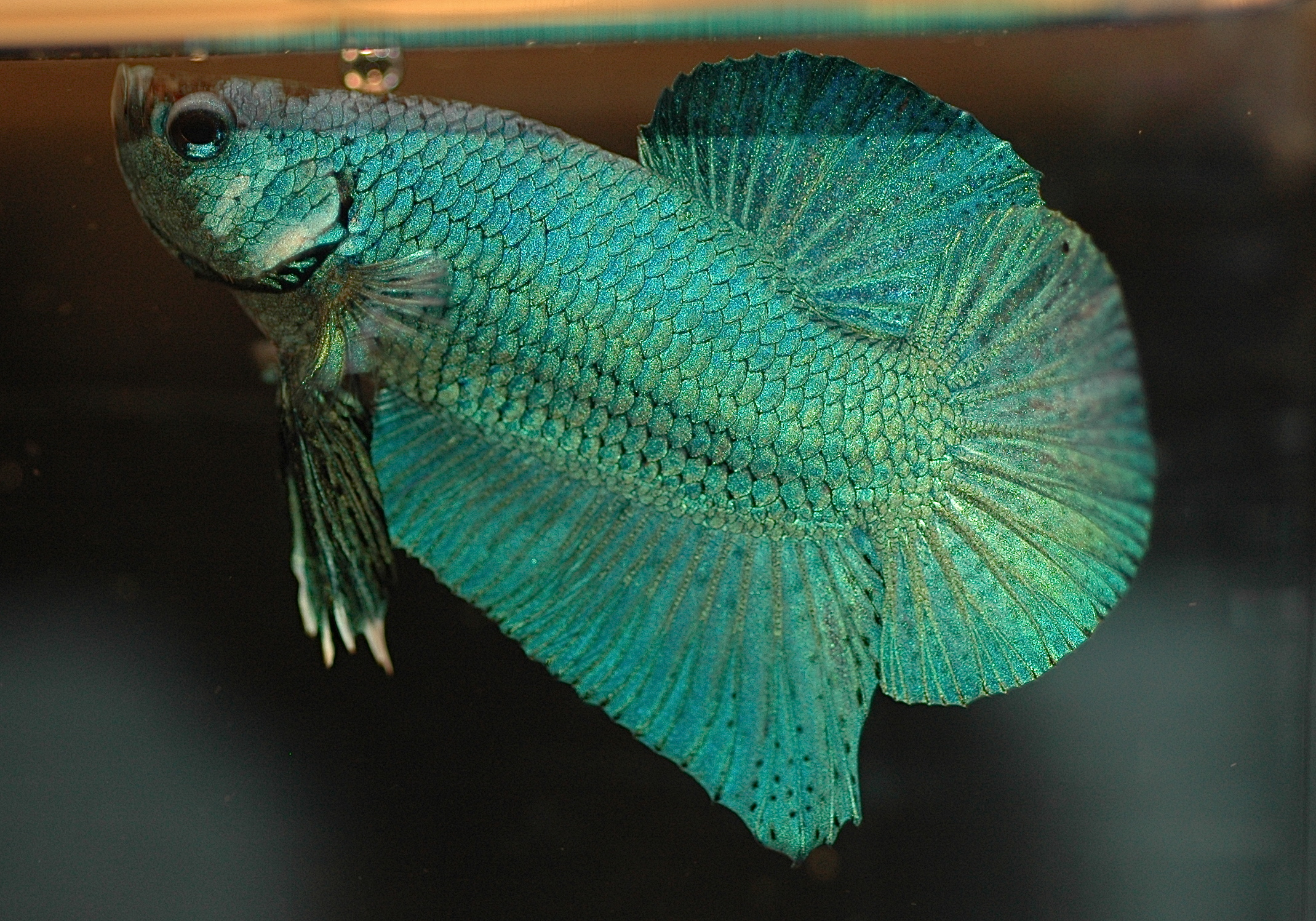Green and blue betta fish