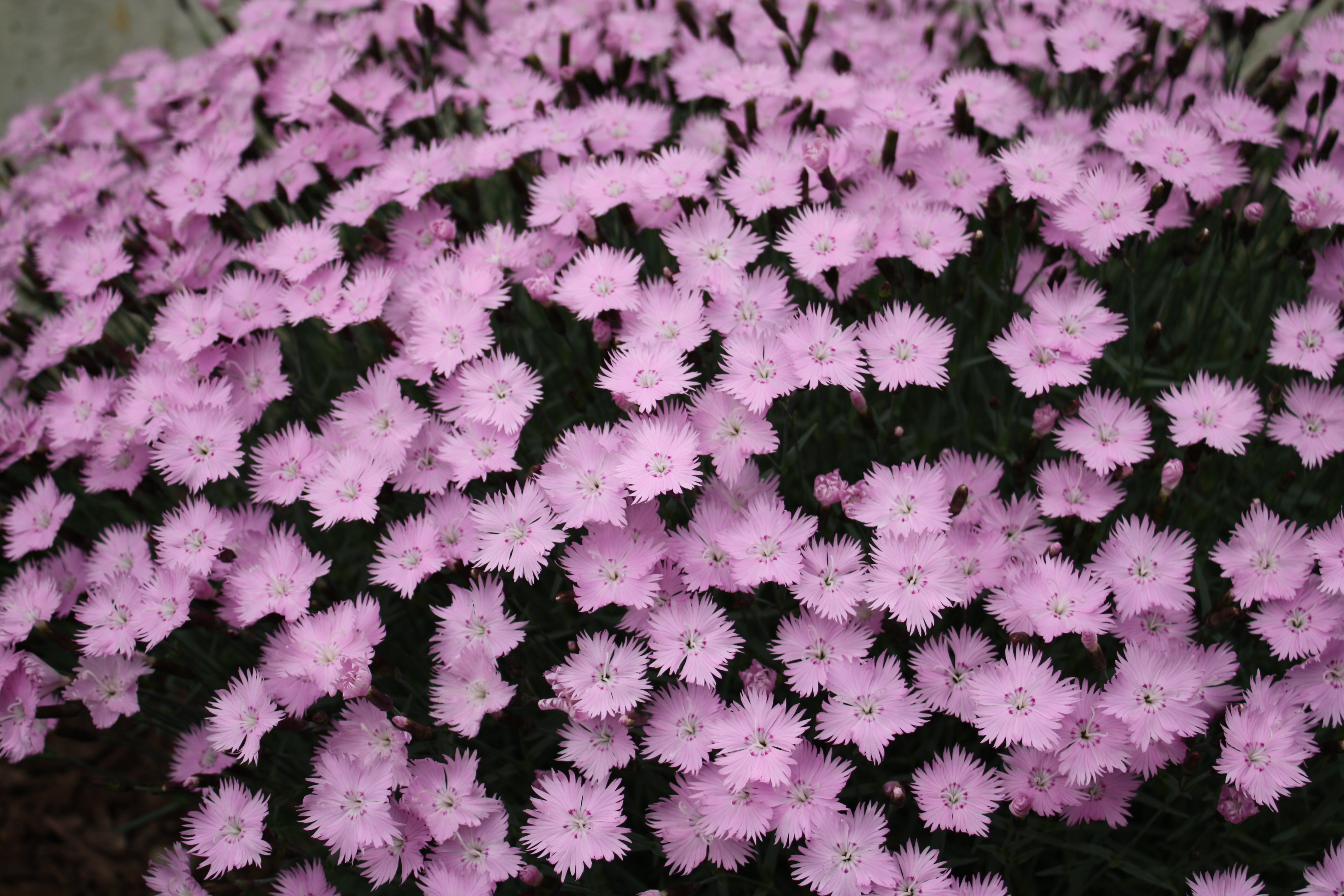 http://upload.wikimedia.org/wikipedia/commons/d/d4/Dianthus_Baths_Pink_08.jpg