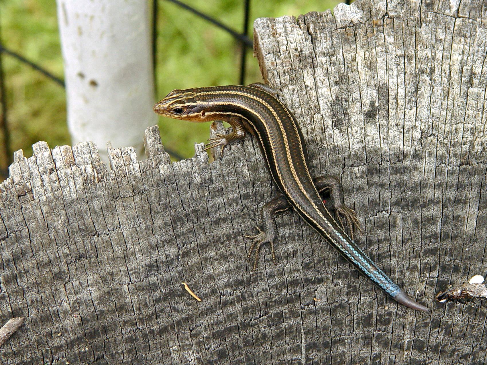 list of reptiles of minnesota wikipedia