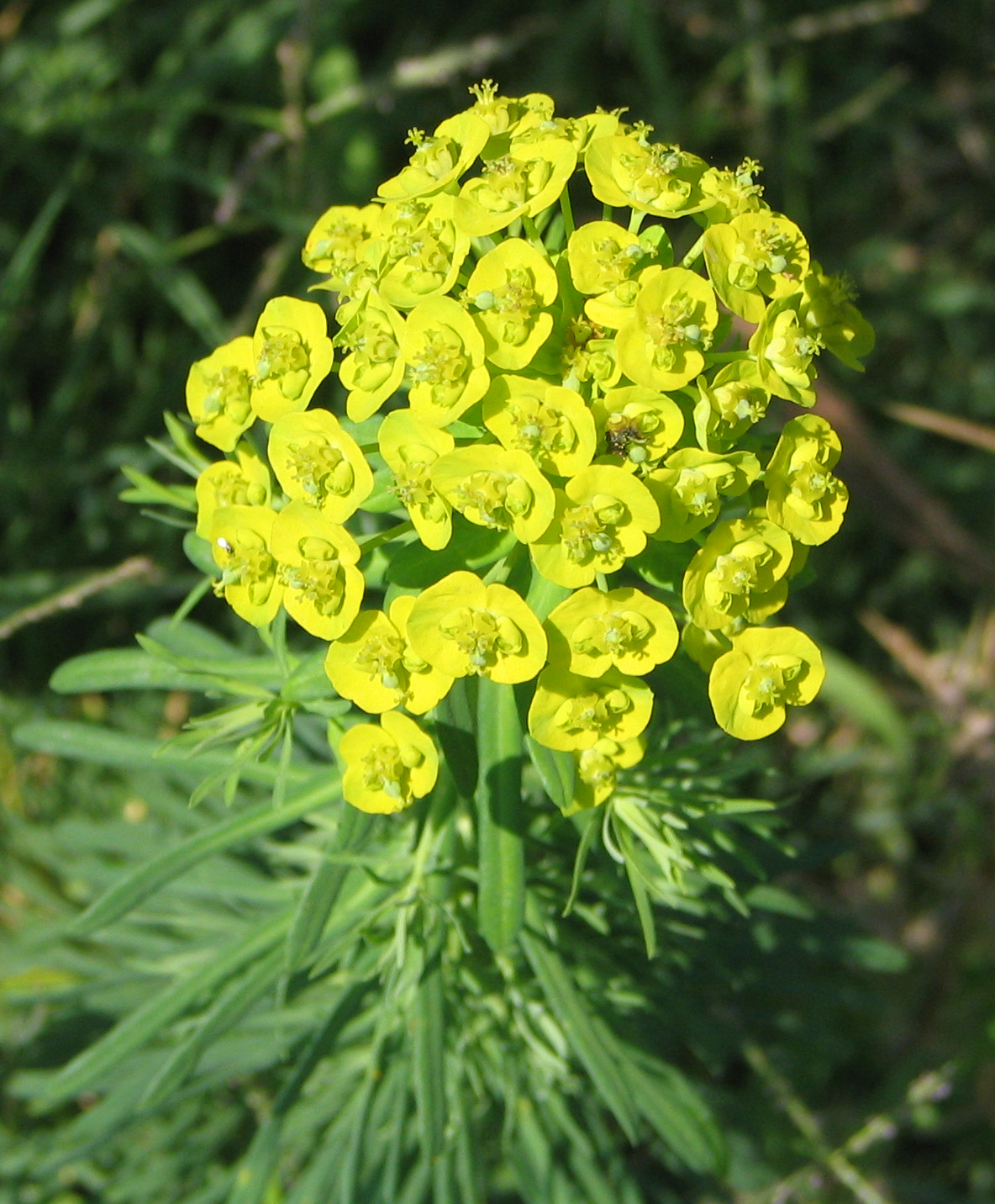 File:Euphorbia cyparissias 02 bgiu.jpg - Wikipedia
