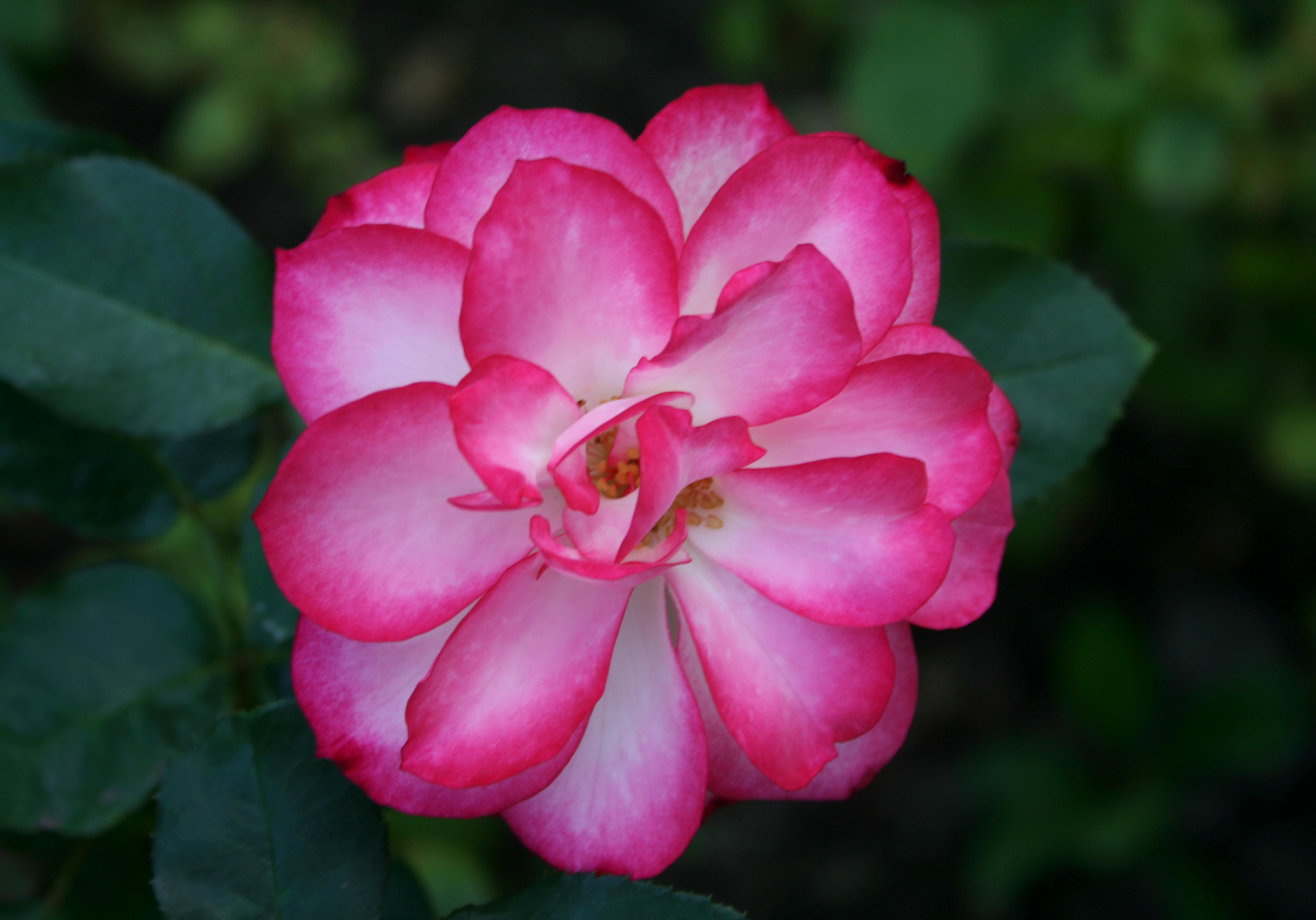 How a rose looks like ...