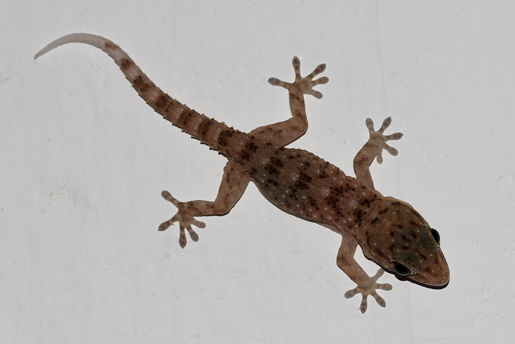The reason why you should kill wall geckos in your house