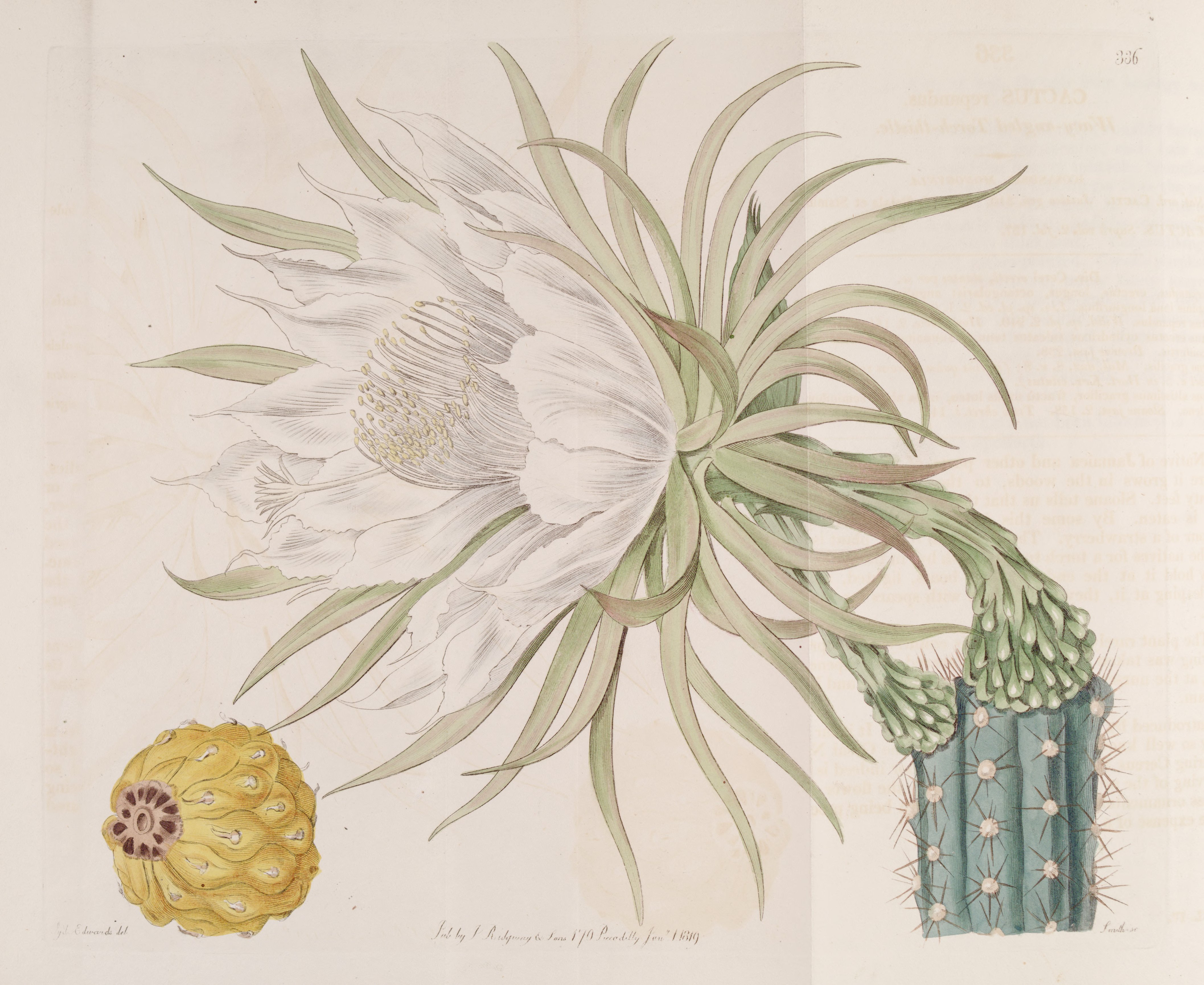 Harrisia gracilis (Cereus repandus) Bot. Reg. 4. 336. 1818.jpg © Edwards