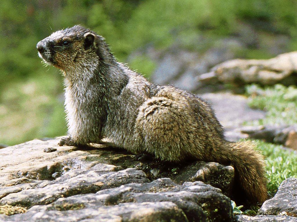 marmot - Wiktionary