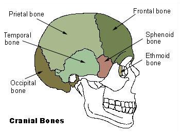 Illu cranial bones.jpg