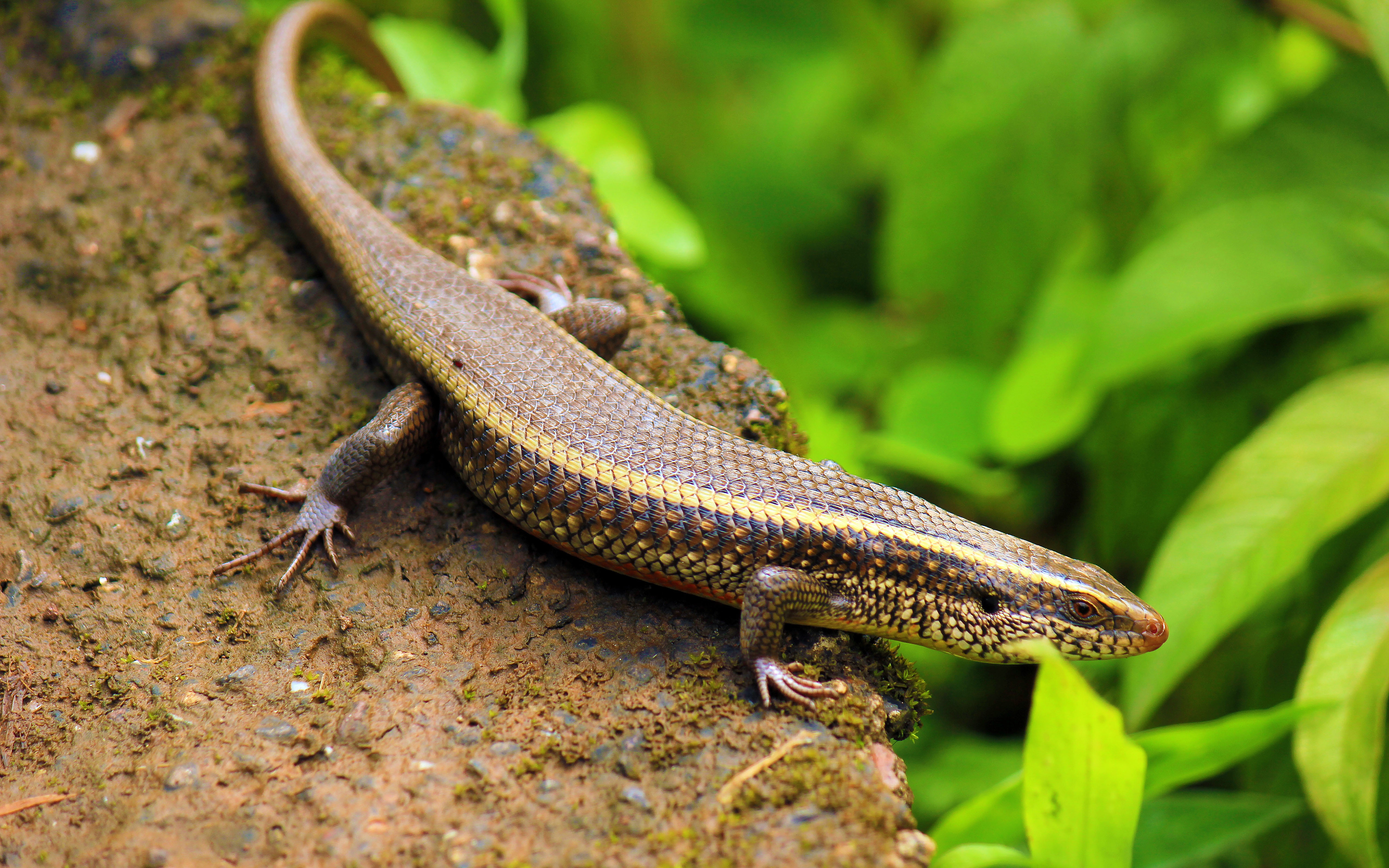 What Type Of Skink Looks Like A Snyder But Has A Different