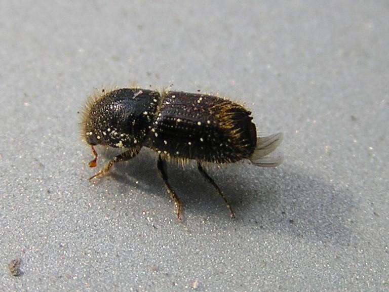 Lykožrút smrekový (lat. Ips typographus)