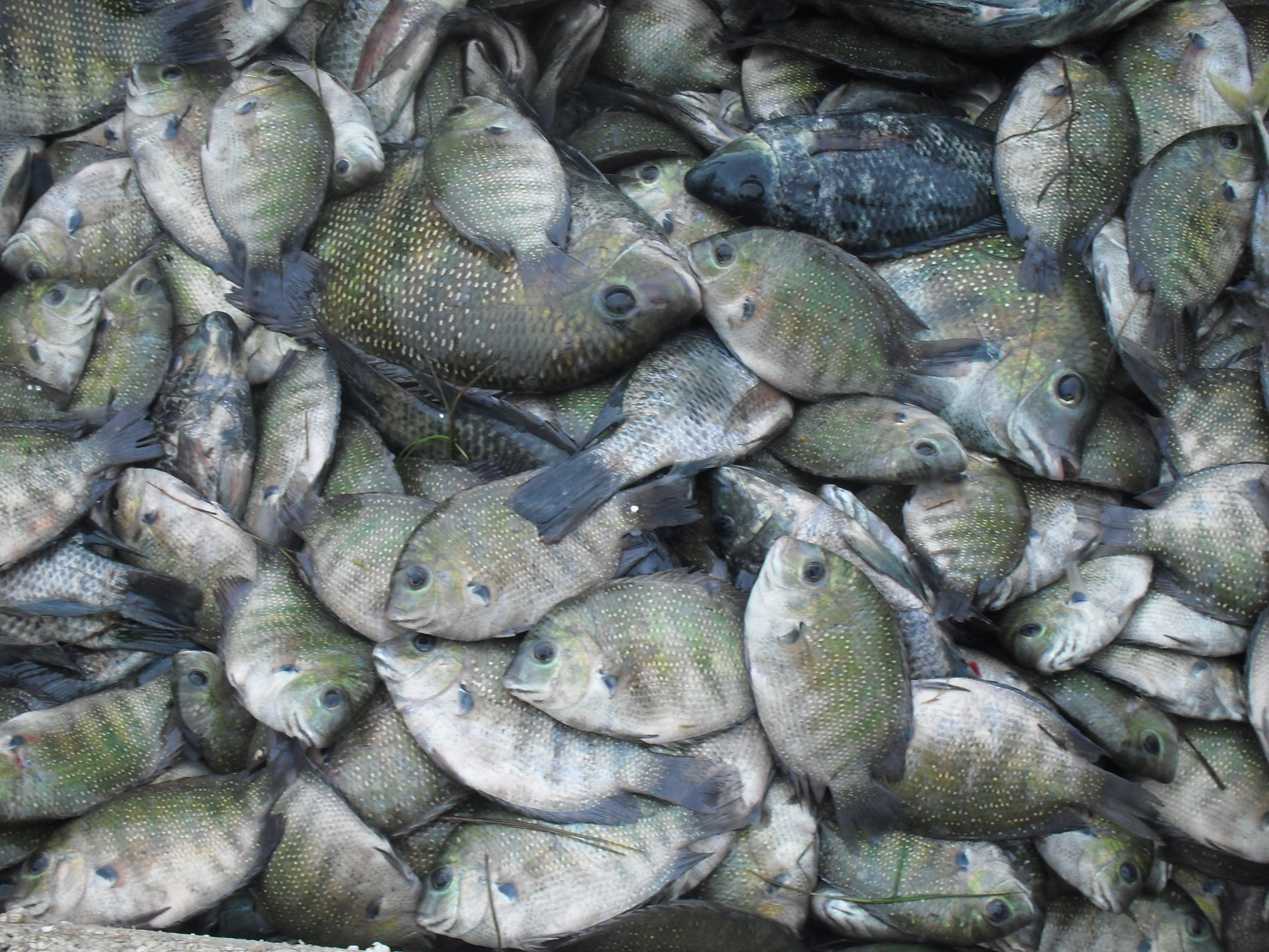 File:Kau Fish.JPG