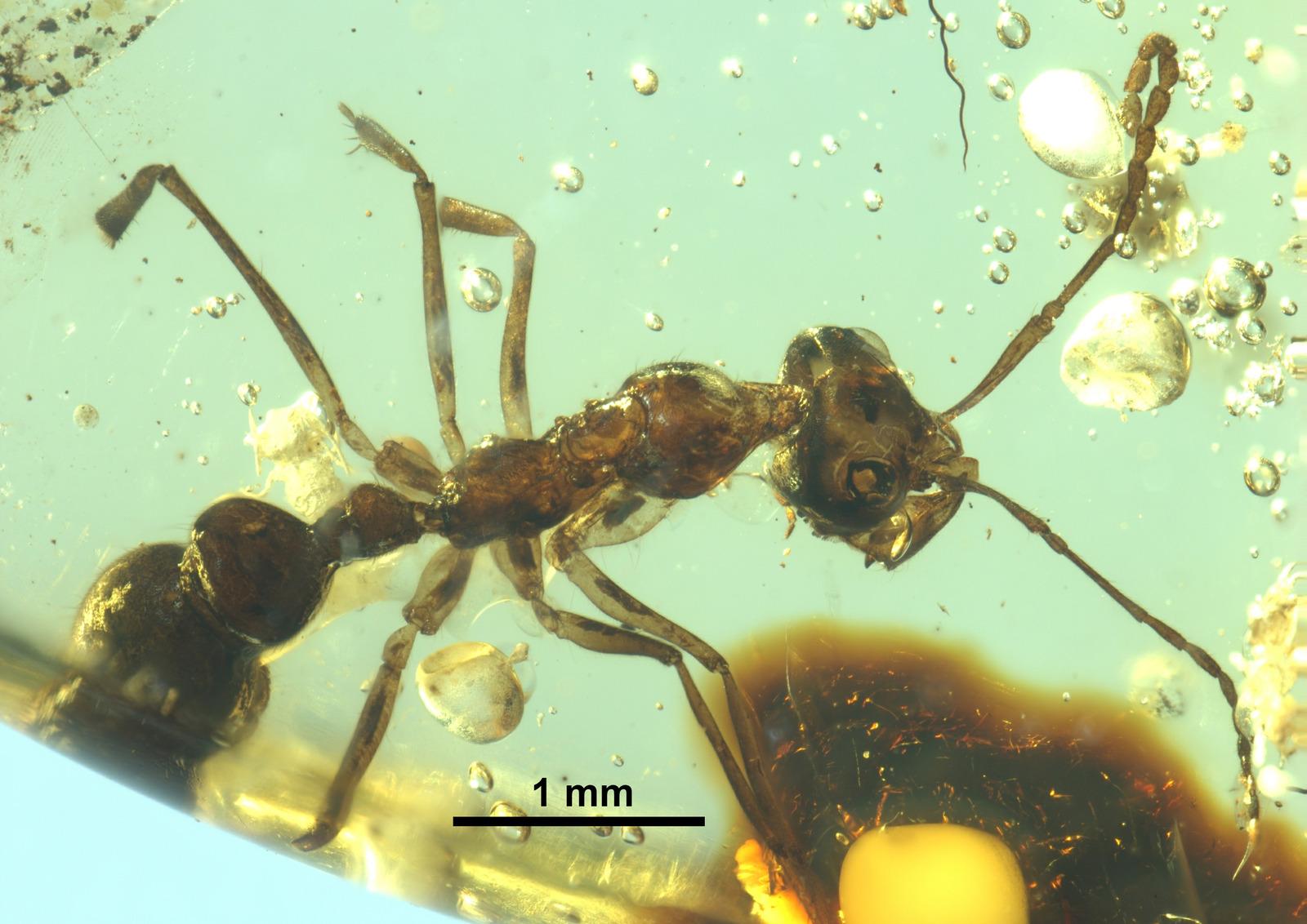 Linguamyrmex brevicornis FANTWEB00025 dorsal.jpg