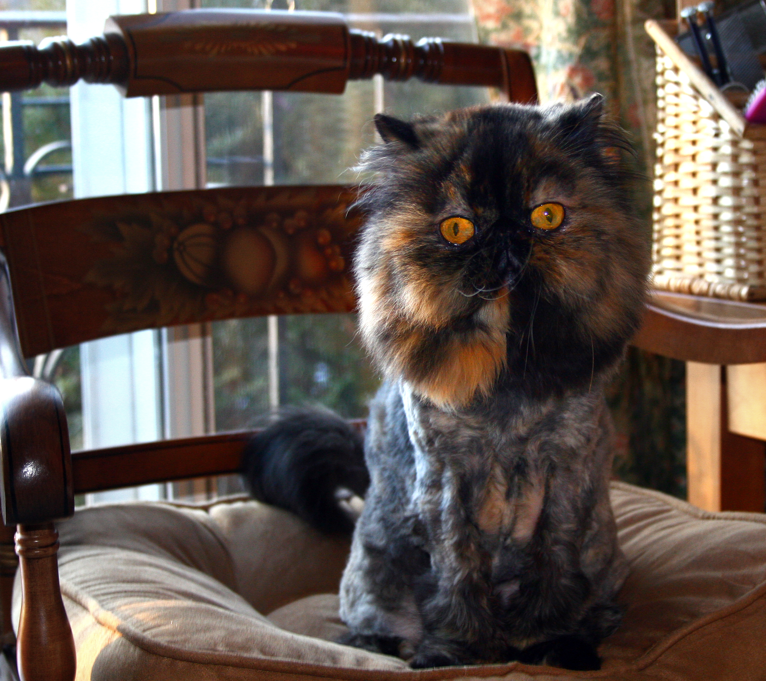 http://upload.wikimedia.org/wikipedia/commons/d/d4/Lion_cut_tortoiseshell_Persian.jpg