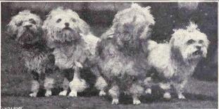 Löwchen dog in old days