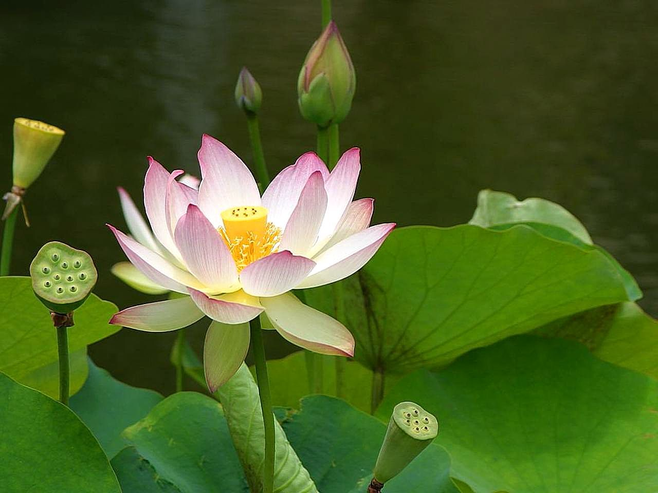 File lotus flowers 1 jpg wikimedia commons for Different type de peinture
